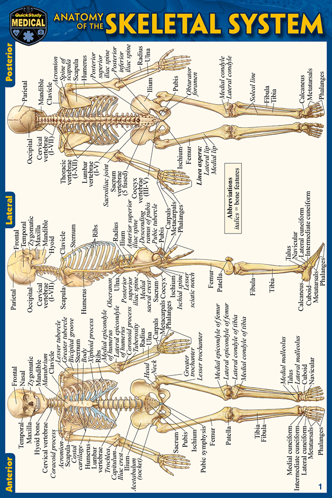 The Skeletal System Anatomy Manual Guide